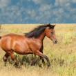 Bay Arabian horse cantering across a field — Stock Photo