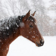 Stock Photo: Red bay horse in heavy snow fall with snow all over her