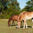 Two beautiful, shiny horses grazing in the pasture — Stock Photo