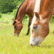 Two horses grazing on a lush green summer pasture — Stock Photo