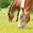 Two horses grazing on a lush green summer pasture — Stock Photo #5566155