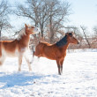 Small horse kicking out at a big horse in snow on a cold winter day — 图库照片