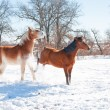 Small horse kicking out at a big horse in snow on a cold winter day - Stock Photo