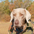 Weimaraner dog wearing a camo shirt — Stock Photo