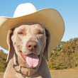 Weimaraner dog wearing a cowboy hat — Stock Photo