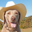 Weimaraner dog wearing a cowboy hat — Stock Photo #5566283