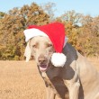 Humorous image of Santa's little canine helper — Stock Photo