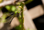 Green Clearwing dragonfly resting on a rose stem — Stock Photo