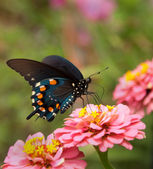 Green Swallowtail Butterfly on double pink Zinnia — Stock Photo