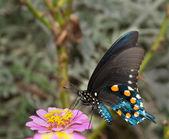 Green Swallowtail Butterfly on light pink Zinnia — Stock Photo
