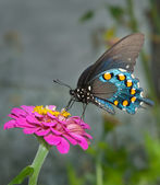Green Swallowtail Butterfly on simple dark pink Zinnia — Stock Photo