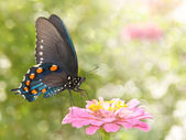 Dreamy image of a Green Swallowtail butterfly on a pink Zinnia — Stock Photo