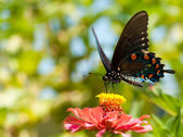 Green Swallowtail, Battus philenor butterfly — Stockfoto