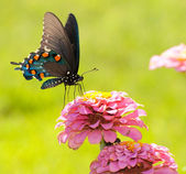 Beautiful Green Swallowtail butterfly feeding on a flower — Stock Photo