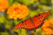 Vue dorsale d'un papillon nacré de golfe — Photo