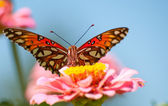 Front view of a colorful Gulf Fritillary butterfly — Стоковое фото