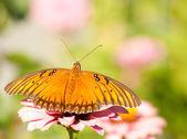 Jose vanillae, borboleta de fritillary do golfo — Foto Stock