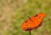 多彩海湾 fritilary 蝴蝶的背视图 — 图库照片