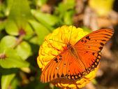 Papillon nacré golfe orange brillant — Photo