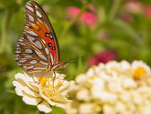 Brilliant silver and orange Gulf Fritillary butterfly — Zdjęcie stockowe