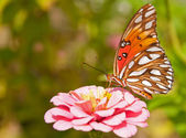 Agraulis vanillae, Gulf Fritillary butterfly feeding — Stock Photo