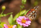 Mariposa fritillary colorido del golfo alimentándose de zinnia — Foto de Stock