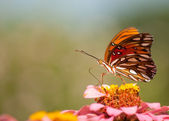 Delicate Gulf Fritillary Butterfly — Stock Photo