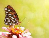 Dreamy image of a Gulf Fritillary feeding on a delicate pink Zinnia — Stock Photo