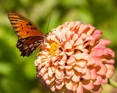Beautiful Gulf Fritillary butterfly feeding — Stock Photo