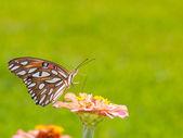 Colorful Gulf Fritillary butterfly feeding on Zinnia — 图库照片