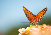 Colorful Gulf Fritillary, Agraulis vanillae — Stock Photo