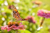 Beautiful Gulf Fritillary in bright sunlight — Stock Photo