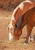 Two horses sharing their hay in dry fall pasture — Stock Photo