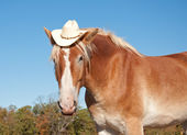 Funny image of a blond Belgian Draft horse wearing a cowboy hat — Stock Photo