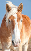 Face of a Belgian Draft horse — Stock Photo