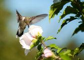 Ruby-throated Hummingbird feeding on an Althea flower — Stock Photo