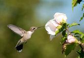 Beautiful Ruby-throated Hummingbird feeding — Stock Photo