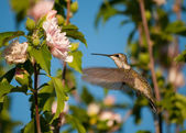 Female Ruby-throated hummingbird getting ready to feed on an Althea flower — Stock Photo
