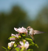 Tiny Hummingbird feeding — Photo