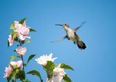 Tiny female Hummingbird hovering — Stock Photo
