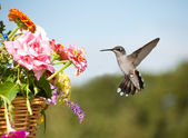 Juvenile male Hummingbird hovering next to a basketful of flowers — Stock Photo