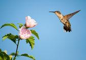 Piękne kobiece ruby - throated hummingbird — Zdjęcie stockowe