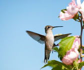 Tiny Hummingbird clinging onto an Althea flower with one foot — Stock Photo