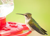 Beautiful juvenile male Hummingbird sitting on a feeder — Stock Photo