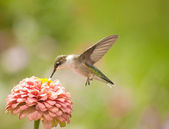 Beautiful Hummingbird feeding on a light pink Zinnia — Stock Photo