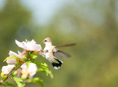 Tiny female Hummingbird feeding on a white Althea flower — Stock Photo