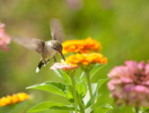 Tiny Hummingbird feeding on a flower in garden — Stock fotografie