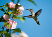Ruby-throated Hummingbird feeding on a light pink Hibiscus — Stock Photo