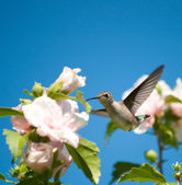 Beautiful Ruby-throated Hummingbird feeding on a Hibiscus flower — Stock Photo