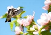 Młody mężczyzna ruby-throated humminbird przygotowuje się do paszy — Zdjęcie stockowe